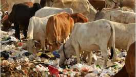 cows eating garbage